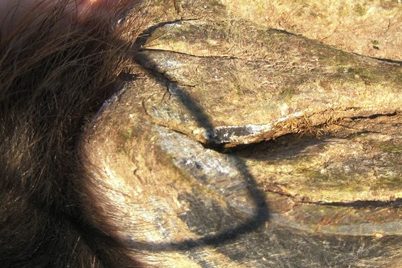 Horse care - Combats thrush at the horse hoof
