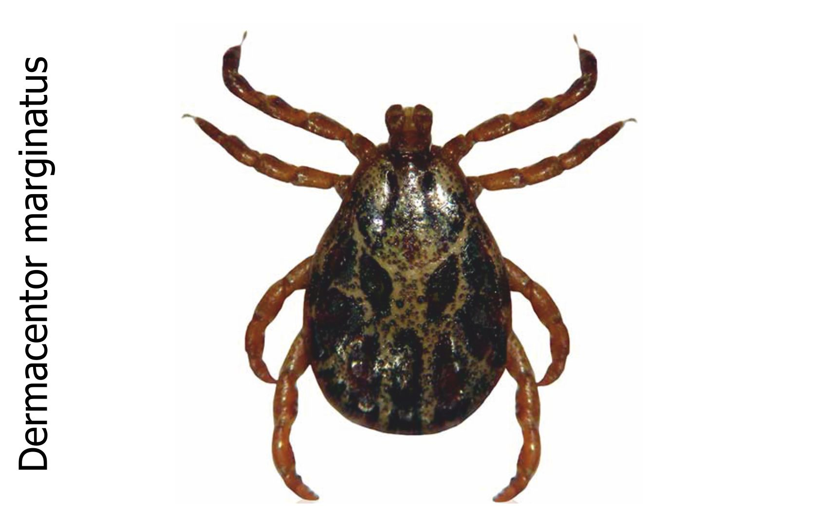 ornate sheep tick (Dermacentor marginatus)